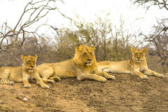 Fierté des lions en plus grand parc national de Kruger, Afrique du Sud Images stock