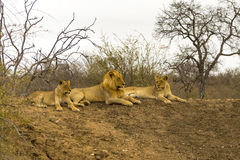 Fierté des lions en plus grand parc national de Kruger, Afrique du Sud Photos stock