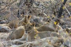Fierté des lions en plus grand parc national de Kruger, Afrique du Sud Image libre de droits