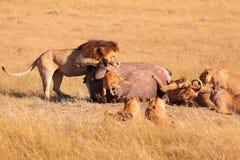Fierté des lions mangeant une prière dans le masai Mara Images libres de droits
