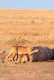 Fierté des lions mangeant une prière dans le masai Mara Image stock