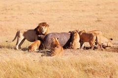 Fierté des lions mangeant une prière dans le masai Mara Photos libres de droits