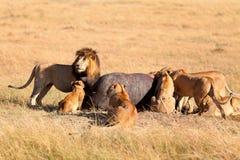 Fierté des lions mangeant une prière dans le masai Mara Photographie stock