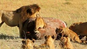 Fierté des lions mangeant une prière dans le masai Mara banque de vidéos