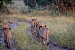 Fierté des lions marchant à partir de l'appareil-photo Image libre de droits