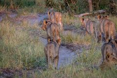 Fierté des lions marchant à partir de l'appareil-photo Images stock