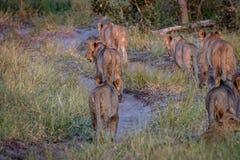 Fierté des lions marchant à partir de l'appareil-photo Image stock