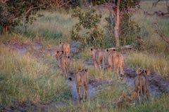 Fierté des lions marchant à partir de l'appareil-photo Images libres de droits
