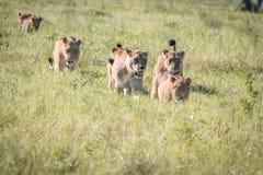 Fierté des lions marchant dans l'herbe Images libres de droits