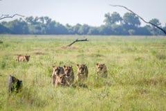 Fierté des lions marchant dans l'herbe Image libre de droits