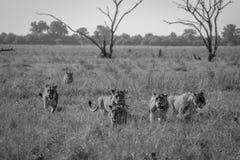 Fierté des lions marchant dans l'herbe Photo stock