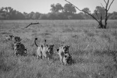 Fierté des lions marchant dans l'herbe Photos libres de droits