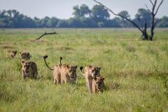 Fierté des lions marchant dans l'herbe Image stock