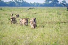 Fierté des lions marchant dans la haute herbe Images stock
