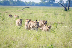 Fierté des lions marchant dans la haute herbe Photo stock