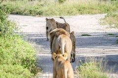Fierté des lions marchant loin dans Chobe Image stock