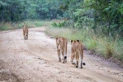 Fierté des lions marchant loin sur un chemin de terre Images libres de droits