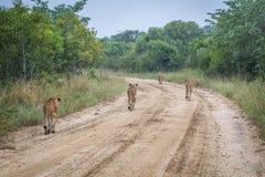 Fierté des lions marchant loin sur un chemin de terre Photos stock