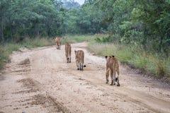 Fierté des lions marchant loin sur un chemin de terre Image libre de droits