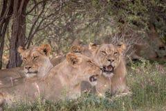 Fierté des lions s'étendant dans l'herbe Image stock