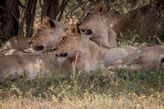 Fierté des lions s'étendant dans l'herbe Images stock
