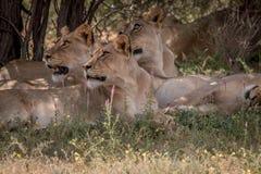 Fierté des lions s'étendant dans l'herbe Images libres de droits