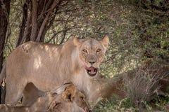 Fierté des lions s'étendant dans l'herbe Photographie stock libre de droits