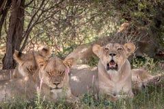 Fierté des lions s'étendant dans l'herbe Photo libre de droits