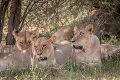 Fierté des lions s'étendant dans l'herbe Photo stock