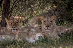 Fierté des lions s'étendant dans l'herbe Photos libres de droits