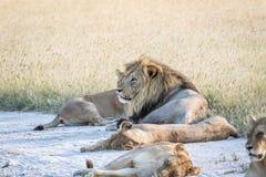 Fierté des lions s'étendant dans le sable Photographie stock libre de droits