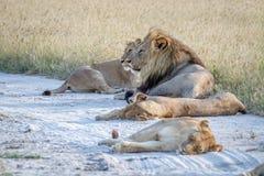 Fierté des lions s'étendant dans le sable Image libre de droits