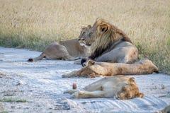 Fierté des lions s'étendant dans le sable Image stock