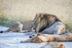 Fierté des lions s'étendant dans le sable Photos libres de droits