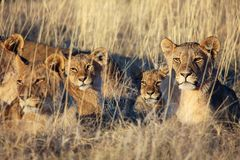 Fierté des lions se reposant au parc national d'etosha Images stock