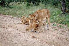 Fierté des lions sur un chemin de terre en Kruger Images stock