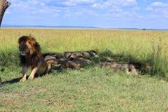 Fierté du lion masculin se reposant au masai Mara Photographie stock