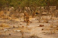 Fierté magnifique de lion ensemble sur les plaines desséchées de l'Afrique images libres de droits