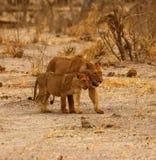 Fierté magnifique de lion ensemble sur les plaines desséchées de l'Afrique photo stock