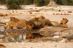 Fierté magnifique des lions avec des petits animaux au point d'eau Image stock
