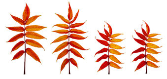 Fiery autumn leaves 4 Royalty Free Stock Images