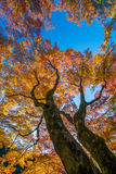 Fiery autumn. Fiery red foliage of a maple tree during mid autumn Royalty Free Stock Photography