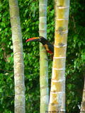 Fiery-billed aracari. In Costa Rica Stock Photos