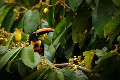 Free Fiery-billed Aracari, Pteroglossus Frantzii, Bird With Big Bill. Toucan Sitting On The Branch In The Forest, Boca Tapada, Laguna D Stock Photography - 124398562