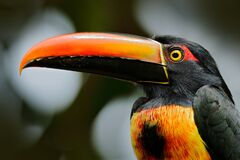 Free Fiery-billed Aracari, Pteroglossus Frantzii, Bird With Big Bill. Toucan Sitting On The Branch In The Forest, Costa Rica. Stock Photos - 179724603