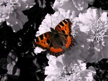 Fiery butterfly. With black and white background royalty free stock photography