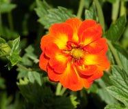 Orange and yellow summer British flower Stock Photos