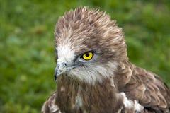 Fiery Eyes. Yellow fiery eyes of a falcon Stock Photo
