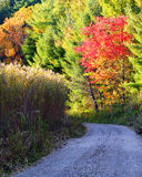 Fiery Fall Foliage. Fiery red oak leafs in an autumn landscape with quiet, unpaved back country road royalty free stock images