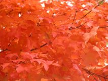 Fiery Fall Foto. Fiery Orange leaves taken the fall of 2006 on a college campus Royalty Free Stock Images